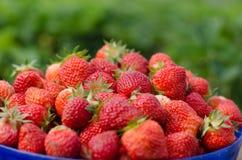 ανασκόπησης τροφίμων τέλεια ώριμη φράουλα πανοράματος πλαισίων φρέσκια Στοκ Εικόνες