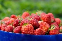 ανασκόπησης τροφίμων τέλεια ώριμη φράουλα πανοράματος πλαισίων φρέσκια Στοκ φωτογραφίες με δικαίωμα ελεύθερης χρήσης