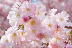 Ανασκόπηση άνοιξη με τα ρόδινα λουλούδια Στοκ φωτογραφίες με δικαίωμα ελεύθερης χρήσης