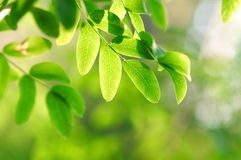 ανασκόπηση ακακιών πράσινη στοκ φωτογραφία με δικαίωμα ελεύθερης χρήσης