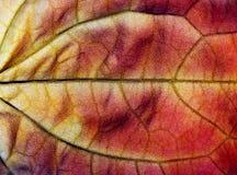 Ανασκόπηση ενός κόκκινου φύλλου φθινοπώρου Στοκ εικόνες με δικαίωμα ελεύθερης χρήσης