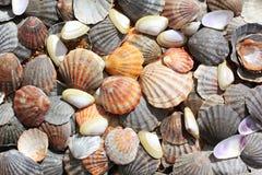 Ανασκόπηση κοχυλιών θάλασσας Στοκ Εικόνες