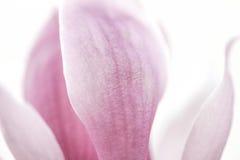 Ανασκόπηση πετάλων της Yulan Magnolia Στοκ Φωτογραφίες