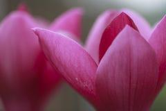 Ανασκόπηση πετάλων Magnolia Στοκ εικόνες με δικαίωμα ελεύθερης χρήσης