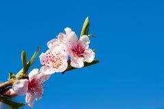 ανασκόπηση που θολώνεται Κλάδοι με το όμορφο ρόδινο ροδάκινο λουλουδιών ενάντια στο μπλε ουρανό Εκλεκτική εστίαση Άνθος ροδάκινων Στοκ φωτογραφία με δικαίωμα ελεύθερης χρήσης