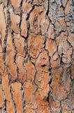 Ανασκόπηση σύστασης φλοιών πεύκο-δέντρων Στοκ Εικόνα