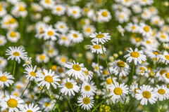 Ανασκόπηση των chamomile λουλουδιών πεδίο βάθους ρηχό Στοκ εικόνα με δικαίωμα ελεύθερης χρήσης