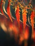 Ανασκόπηση φθινοπώρου με τα κόκκινα φύλλα Στοκ Εικόνες