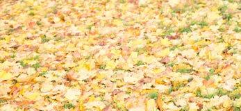 Ανασκόπηση φύλλων φθινοπώρου Πορτοκάλι σφενδάμνου, κίτρινος και πράσινος Στοκ Εικόνα