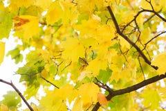 Ανασκόπηση φύλλων φθινοπώρου Πορτοκάλι σφενδάμνου, κίτρινος και πράσινος Στοκ Φωτογραφία