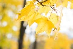 Ανασκόπηση φύλλων φθινοπώρου Πορτοκάλι σφενδάμνου, κίτρινος και πράσινος Στοκ φωτογραφία με δικαίωμα ελεύθερης χρήσης