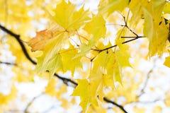 Ανασκόπηση φύλλων φθινοπώρου Πορτοκάλι σφενδάμνου, κίτρινος και πράσινος Στοκ Εικόνες