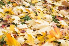 Ανασκόπηση φύλλων φθινοπώρου Πορτοκάλι σφενδάμνου, κίτρινος και πράσινος Στοκ φωτογραφίες με δικαίωμα ελεύθερης χρήσης