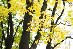 Ανασκόπηση φύλλων φθινοπώρου Πορτοκάλι σφενδάμνου, κίτρινος και πράσινος Στοκ Φωτογραφίες