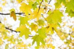 Ανασκόπηση φύλλων φθινοπώρου Πορτοκάλι σφενδάμνου, κίτρινος και πράσινος Στοκ εικόνες με δικαίωμα ελεύθερης χρήσης