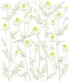 ανασκόπηση chamomile Διανυσματική απεικόνιση