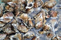 ανασκόπηση conch sheel Στοκ Φωτογραφίες