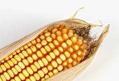 ανασκόπηση corncob στοκ φωτογραφία με δικαίωμα ελεύθερης χρήσης