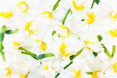 ανασκόπηση daffodil floral Στοκ Εικόνες