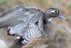 Αναστάτωση των φτερών μου στοκ εικόνες με δικαίωμα ελεύθερης χρήσης