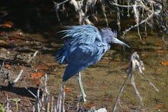Αναστατωμένα μπλε φτερά Στοκ Φωτογραφία