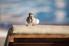 Αναστατωμένο επάνω αστείο σπουργίτι Στοκ φωτογραφία με δικαίωμα ελεύθερης χρήσης