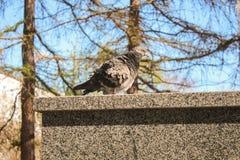 Αναστατωμένο περιστέρι Στοκ εικόνες με δικαίωμα ελεύθερης χρήσης