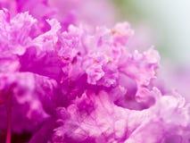 Αναστατωμένο ροδανιλίνης λουλούδι Στοκ Εικόνες