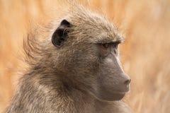 Αναστατωμένο baboon στοκ φωτογραφία με δικαίωμα ελεύθερης χρήσης
