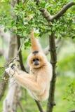 Ανασταλμένος gibbon Στοκ εικόνες με δικαίωμα ελεύθερης χρήσης