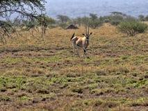 Ανατολή αφρικανικό Oryx, beisa gazella Oryx, εθνικό πάρκο Awash, Αιθιοπία στοκ φωτογραφία με δικαίωμα ελεύθερης χρήσης