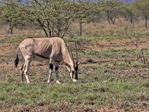 Ανατολή αφρικανικό Oryx, beisa gazella Oryx, εθνικό πάρκο Awash, Αιθιοπία στοκ εικόνα με δικαίωμα ελεύθερης χρήσης