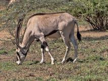 Ανατολή αφρικανικό Oryx, beisa gazella Oryx, εθνικό πάρκο Awash, Αιθιοπία στοκ εικόνες