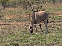 Ανατολή αφρικανικό Oryx, beisa gazella Oryx, εθνικό πάρκο Awash, Αιθιοπία στοκ φωτογραφίες με δικαίωμα ελεύθερης χρήσης