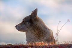 Ανατολή η σιβηρική Λάικα στοκ φωτογραφίες