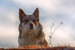 Ανατολή η σιβηρική Λάικα στοκ φωτογραφία με δικαίωμα ελεύθερης χρήσης