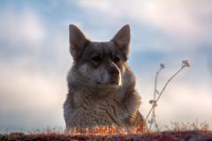 Ανατολή η σιβηρική Λάικα στοκ φωτογραφίες με δικαίωμα ελεύθερης χρήσης