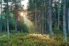 Ανατολή στο θερινό δάσος πεύκων Στοκ εικόνα με δικαίωμα ελεύθερης χρήσης