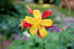 Ανατολή Tequila skinneri Aquilegia ή ανθίζοντας λουλούδι Columbine στο σκούρο πράσινο υπόβαθρο Στοκ φωτογραφία με δικαίωμα ελεύθερης χρήσης