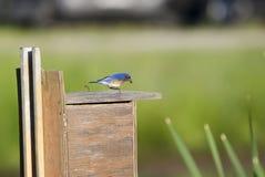 Ανατολικά ταΐζοντας μωρά πουλιών Bluebird στο κιβώτιο φωλιών, Γεωργία, ΗΠΑ στοκ φωτογραφία