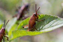 Ανατολικά Grasshoppers πρωταρών μωρών σε ένα φύλλο Στοκ φωτογραφία με δικαίωμα ελεύθερης χρήσης
