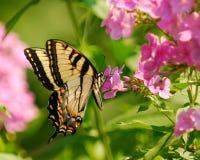 ανατολική τίγρη swallowtail Στοκ Φωτογραφίες