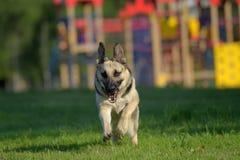 Ανατολικο-ευρωπαϊκά τρεξίματα τσοπανόσκυλων στοκ εικόνα με δικαίωμα ελεύθερης χρήσης