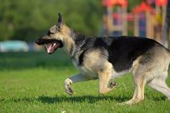 Ανατολικο-ευρωπαϊκά τρεξίματα τσοπανόσκυλων στοκ φωτογραφία
