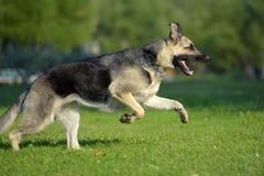 Ανατολικο-ευρωπαϊκά τρεξίματα τσοπανόσκυλων στοκ εικόνα