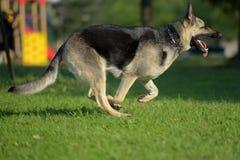 Ανατολικο-ευρωπαϊκά τρεξίματα τσοπανόσκυλων στοκ φωτογραφίες