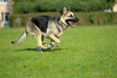 Ανατολικο-ευρωπαϊκά τρεξίματα τσοπανόσκυλων στοκ φωτογραφία με δικαίωμα ελεύθερης χρήσης
