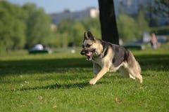 Ανατολικο-ευρωπαϊκά τρεξίματα τσοπανόσκυλων στοκ φωτογραφίες με δικαίωμα ελεύθερης χρήσης