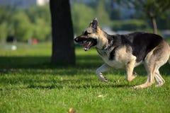 Ανατολικο-ευρωπαϊκά τρεξίματα τσοπανόσκυλων στοκ εικόνες