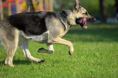 Ανατολικο-ευρωπαϊκά τρεξίματα τσοπανόσκυλων στοκ εικόνες με δικαίωμα ελεύθερης χρήσης